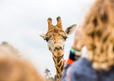 Giraf in de Beekse Bergen. Bron VisitBrabant.nl